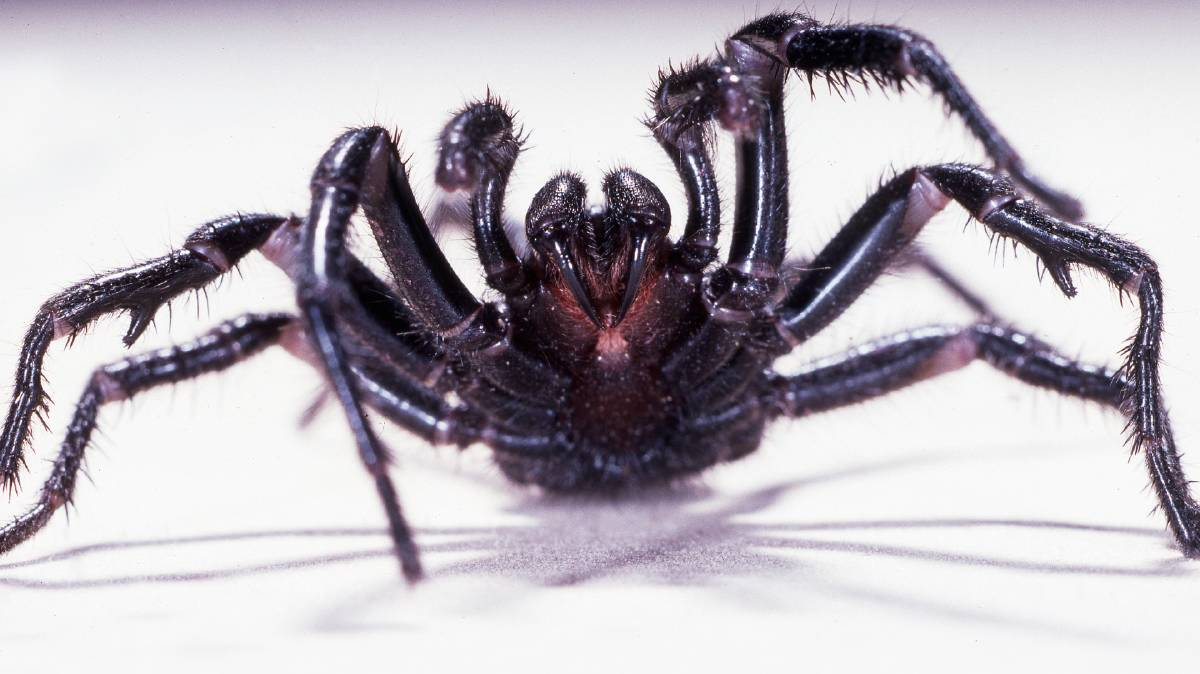 A Sydney funnel web spider. Photo: file