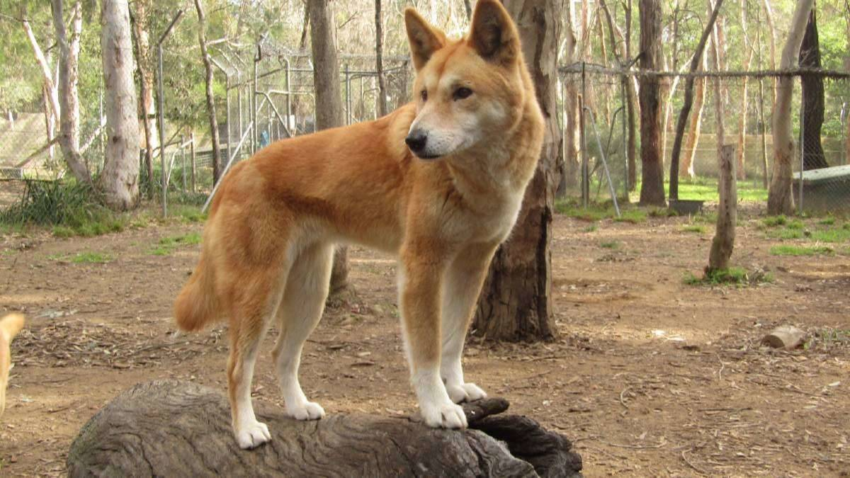 A dingo at a special reserve in Bargo.