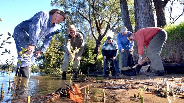 Paul Hawker, John Bratt, Jeff Sutton, Don Sawers and Stuart Crowther plant mangroves and fill sandbags on the riverbank around the Nowra Golf Club.